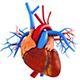 Cardio & Circulatory Body System