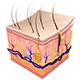 Integumentary Body System